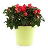 Azalea roja Imágenes de archivo libres de regalías