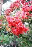 Azalea roja Fotos de archivo