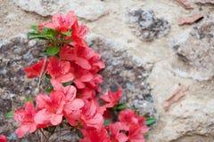 Azalea roja floreciente Foto de archivo libre de regalías