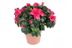 Azalea. Room Flower Isolated Royalty Free Stock Photo