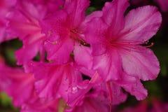 Azalea rosa Fotografie Stock Libere da Diritti