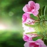Azalea rosa Immagini Stock