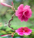 Azalea rosa fotografia stock libera da diritti