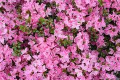 Azalea rosa Fotografia Stock