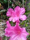Azalea rosa con la parete dello stucco Fotografia Stock Libera da Diritti