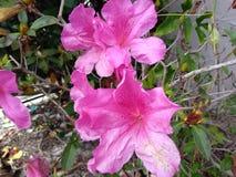 Azalea rosa con la parete dello stucco Fotografia Stock
