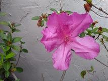 Azalea rosa con la parete dello stucco Immagini Stock Libere da Diritti