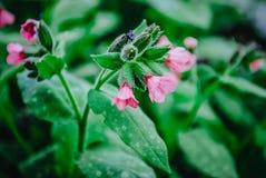 Azalea rosa nel giardino Fotografia Stock