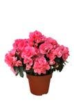 Azalea rosa in un vaso su fondo bianco Immagini Stock Libere da Diritti