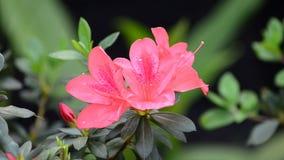 Azalea rosada almacen de metraje de vídeo
