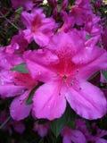 Azalea rosada Foto de archivo libre de regalías