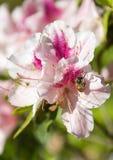 Azalea rosada del primer con la abeja Imagenes de archivo