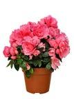 Azalea rosada en un pote aislado en blanco Imagenes de archivo