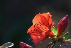 Azalea rossa immagini stock