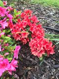 Azalea rossa e rosa Fotografia Stock