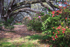 Azalea Row at Magnolia Plantation SC royalty free stock image