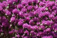 azalea's Royalty-vrije Stock Foto