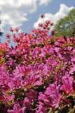 Azalea's in de lente Royalty-vrije Stock Foto's