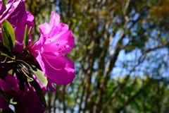 Azalea Spotlighted rosada contra el fondo de árboles Fotografía de archivo