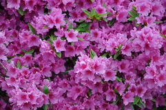 Azalea in spring blossom, pink petals, sunlight ef Royalty Free Stock Images
