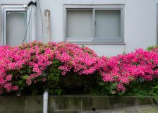 Azalea in the street in Tokyo, Japan. Azalea tree and flowers called tsutsuji blooming in the street in Tokyo, Japan Stock Images