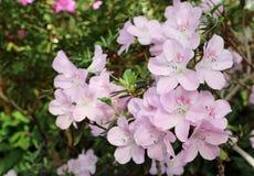 Azalea tree. Blooming azalea tree in a garden Royalty Free Stock Photography