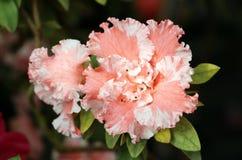 Azalea tree. Close up blooming azalea in a garden Royalty Free Stock Image