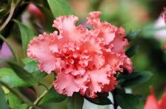 Azalea tree. Close up blooming azalea in a garden Royalty Free Stock Photography