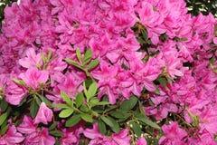 Azalea Tree con las flores rosadas Imagen de archivo libre de regalías