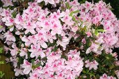 Azalea Tree med Wite och rosa färgblommor Arkivfoto