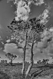 The azalea tree. It's a tall azalea tree on the Horton plain ,Srilanka stock images