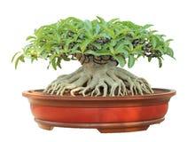 Azalea trees in pots isolated. On white background Royalty Free Stock Photo