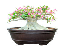 Azalea trees in pots isolated. On white background Royalty Free Stock Image