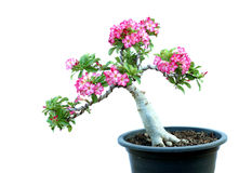 Azalea trees in pots Stock Images