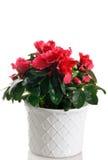 Azalea in vaso Fotografia Stock