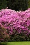 Azalea in weelderige bloeiende roze bloemen royalty-vrije stock afbeelding