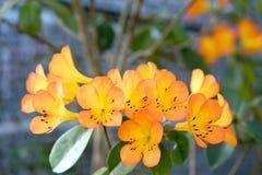 Azaleabloemen het bloeien Stock Afbeeldingen