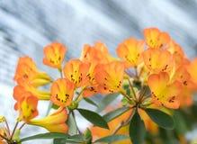 Azaleabloemen het bloeien Royalty-vrije Stock Fotografie