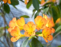 Azaleabloemen het bloeien Stock Foto
