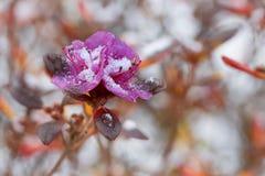 Azaleabloemen met sneeuw worden behandeld die Stock Foto's