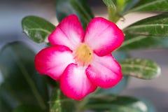 Azaleabloemen - rode bloemen bij de aard voor achtergrond Stock Fotografie