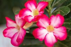 Azaleabloemen - rode bloemen bij de aard voor achtergrond Royalty-vrije Stock Fotografie
