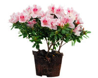 azaleablomkrukan blommar pink royaltyfria bilder