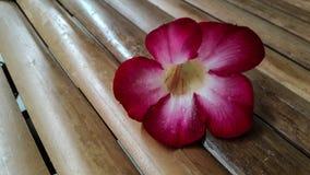 Azaleablomma på bambu Royaltyfri Fotografi
