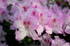 Azaleablommarosa färger Royaltyfri Foto