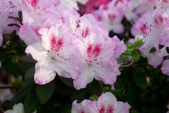 Azaleablommarosa färger Fotografering för Bildbyråer