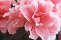 azaleablommor Royaltyfri Fotografi