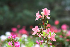 azaleaen blommar pink Arkivfoto