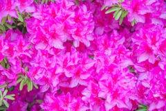 azaleaen blommar pink Fotografering för Bildbyråer