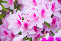 azaleaen blommar pink Royaltyfri Fotografi